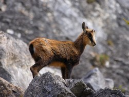 chamois-aurélien le métayer
