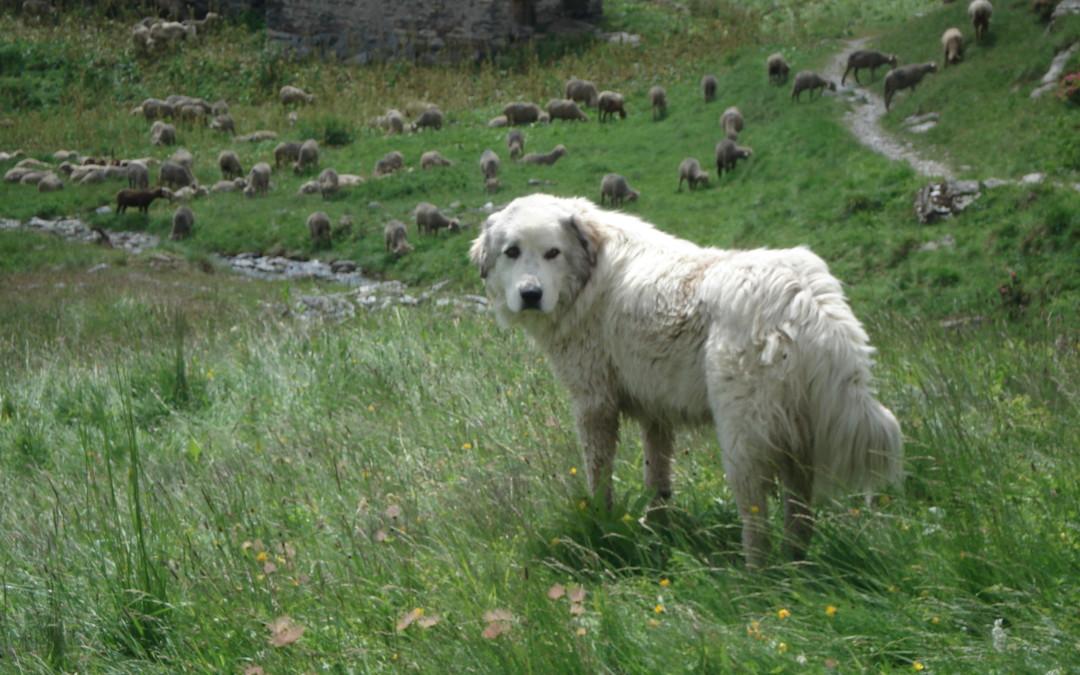 Comment réagir face aux chiens de protection des troupeaux